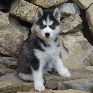 Фотографии Куплю щенка Хаски.